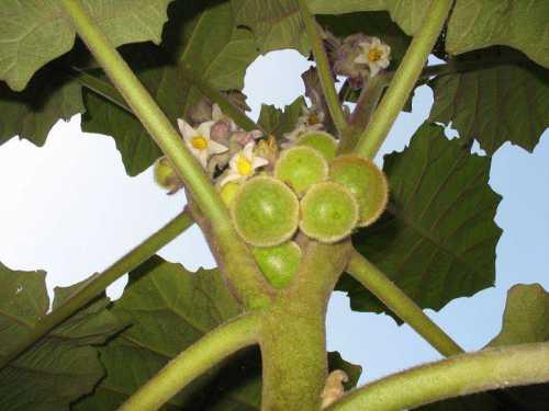 фрукт питахайя: ее свойства и применение