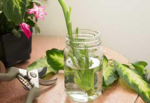 размножение юкки в домашних условиях: способы, уход за растением